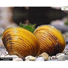 Goldene Körbchenmuschel - Corbicula javanicus