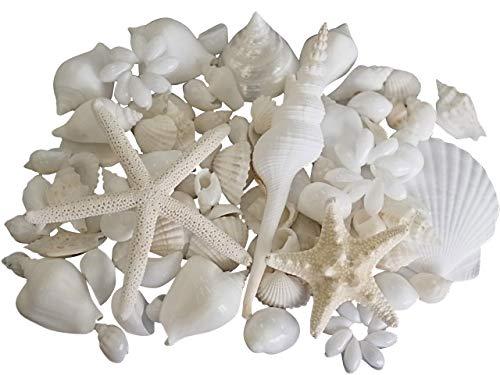 【貝殻の問屋さん(旧店名:貝殻不思議発見)】貝殻セット(ホワイトスペシャルセット)【約1.5~13.0cm】