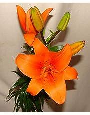 Ramo Flores Frescas de Lilium Naranja 10 Tallos PORTES GRATIS