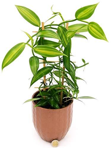 Orquídea vainilla versión navideña, en maceta cerámica bronce, planta auténtica