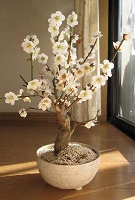 白梅盆栽 2月~3月頃開花 梅盆栽 信楽焼