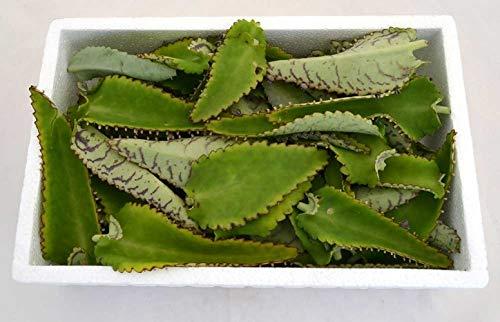 Hojas Frescas de Kalanchoe Daigremontiana 250g Planta Natural Uso Terapéutico