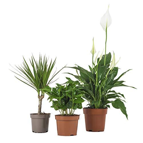 Zimmerpflanzen Set - 3 Mix - Coffea arabica, Spathiphyllum, Dracaena- natürliche Deko und Luftverbesserung im Blumentopf - toller Mix aus Tropischen und Orientalischen Pflanzen (SET 14)