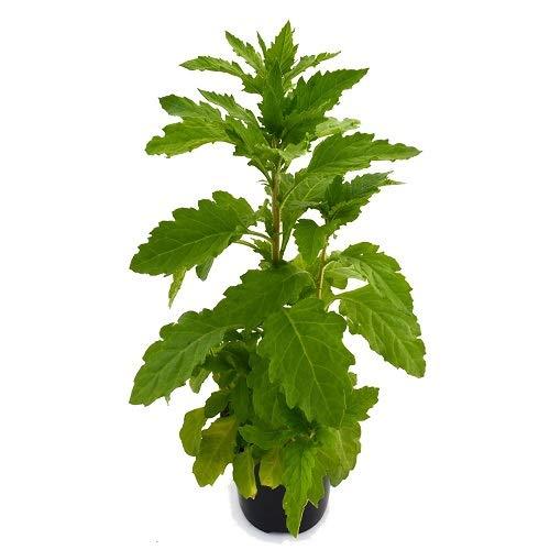 Espazote Paico 10cm Planta Dysphania Ambrosioides Chenopodium Ambrosioides