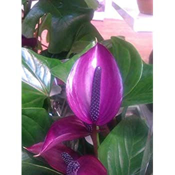 Exoticrareplants Anthurium Violet Tail Flower Live Plant Amazon In Garden Outdoors