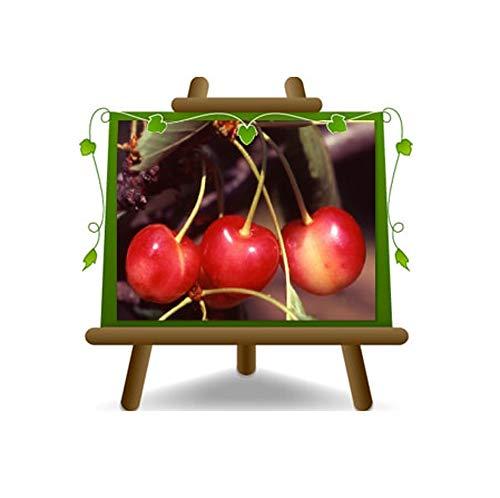 cerise doux Graffione - plante de fruits arbre sur pot de 20 - max 170 cm - 4 ans