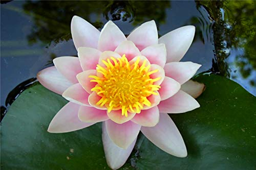 WOZUIBAN Puzzles for Adults 1000 Piece - Pink Lotus Flower - Family Funny Decompression Games 75x50cm