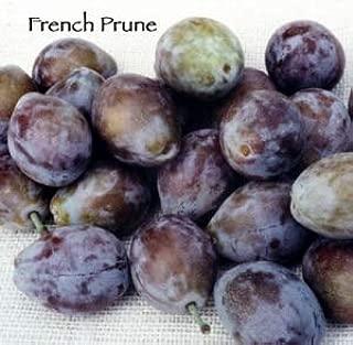 French Prune Plum Tree - 2 Year Old 4-5 Feet Tall