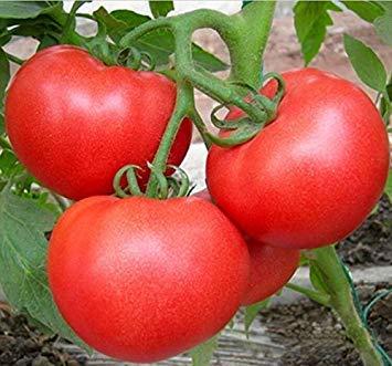 Vista graines de radis de gros pieds rares - 100 PCS/sac, graines de légumes délicieuses