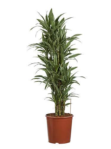 Plante d'intérieur de Botanicly – Dragonnier – Hauteur: 120 cm – Dracaena derem. Warneckei