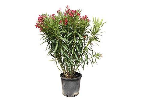 Oleander - farbe ROT - 130cm - Nerium Oleander