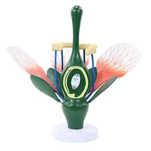 XiYou Pädagogische Puppen Pfirsichblütenmodell Pflanze Anatomisches Modell Dikotyle Blütenstruktur Anatomie Grüne Pflanze Staubblatt Stempel Biologie