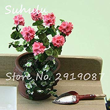 Vistaric 100pcs Rare Mini Geranium Graines Vivaces Belles Fleurs Graines Pelargonium Peltatum Graines disponibles bonsaï en pot mélange couleurs 12