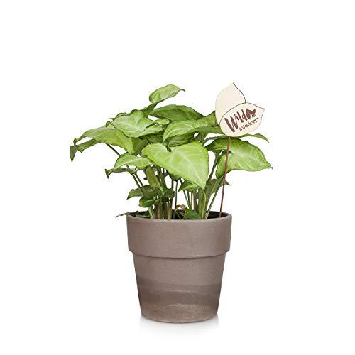 "Wild Interiors WI102 Arrowhead Vine Live Indoor Plant, Shelf Size (5"" Pot), Green"