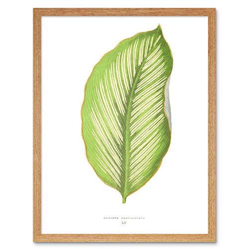Wee Blue Coo Leaf Maranta Albo Lineata Art Print Framed Poster Wall Decor Kunstdruk Poster Wanddecoratie 12X16 inch