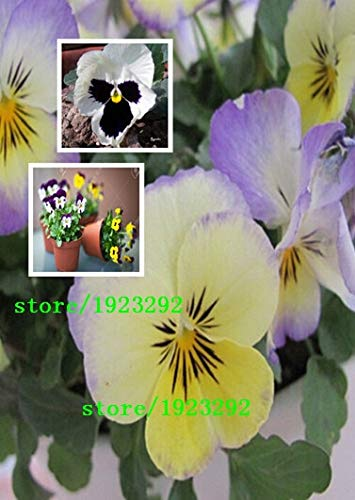Bloom Green Co. 100 charming White Viola Tricolor Pansy Flower Seeds easy-to plant perennial bonsai potted DIY home& garden original packing A087: Multi-Colored