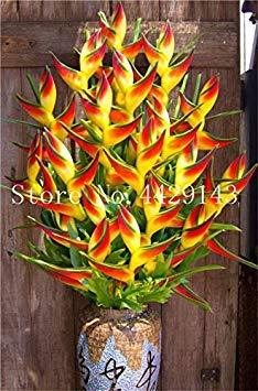 Potseed Neue 100 PC Heliconia Rare Farbe Sucuulent Pflanze, falscher Paradiesvogel Indoor-Pflanzen-Blume, einfach zu wachsen: 9