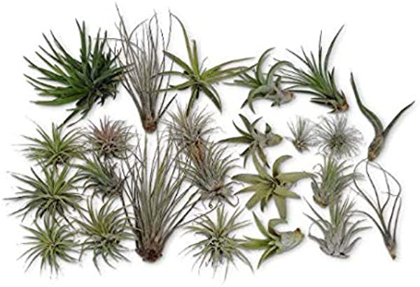 CTS Air Plants 24 Pack Tillandsia Assortment Air Plants As Is