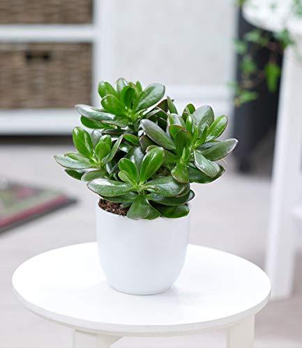 AIMADO Samen-50 Pcs Geldbaum Crassula exotische Samen Afrika Ziergras Winterhart mehrjährig Zimmerpflanzen pflegeleicht Bonsai Saatgut für Balkon Terrasse