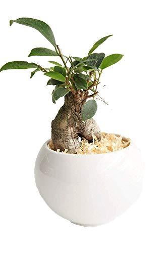 【純国産ひのきを使用した観葉植物。ひのきの香りに癒されます。】 ハイドロカルチャー 観葉植物 ガジュマル ルンド白 ひのき