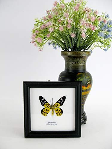asiahouse24 Zigzag Flat (Odina decoratus) - Cuadro decorativo (12 x 12 cm), diseño de mariposa
