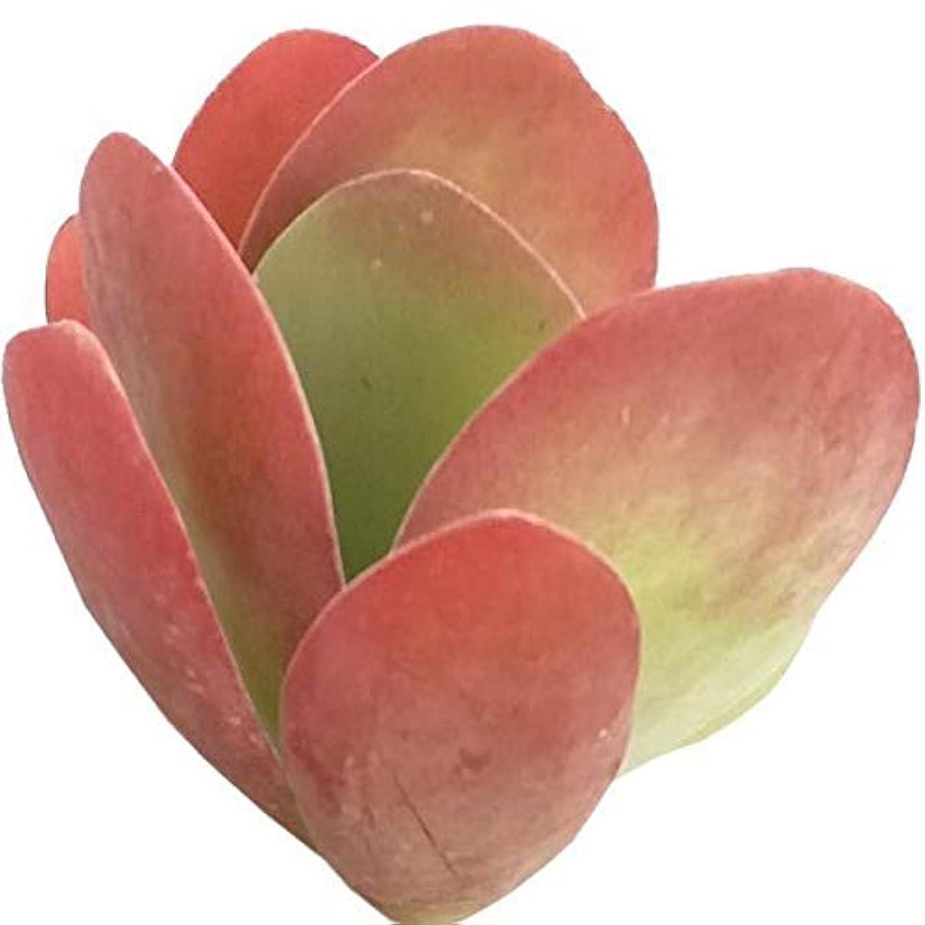 繰り返す蒸し器均等に4'' +クレイポット:カランコエフラップパドルプラントThyrsiflora多肉植物(2 'または4「」)