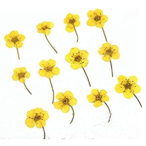Artificial and Dried Flower Small Narcissus with Stem Dried Flower for Bookmark Material 100pcs – ( Color: Dye Yellow )