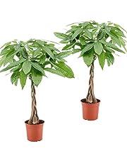 Plant in a Box – Set met 2 Pachira Geldboompjes – Groene kamerplanten- Hoogte 60-70cm – Pot Ø17cm
