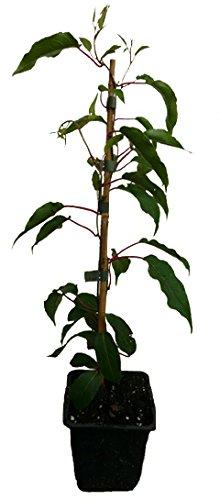 2 x Minikiwi Pflanzen Kens Red weiblich und männlicher Befruchter Actinidia arguta Kiwai winterharte Kiwi