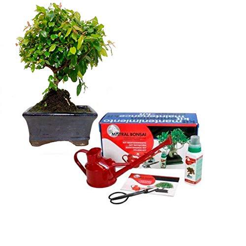 Pack básico de iniciación al bonsái Sageretia theezans Ciruelo Chino 5 años + caja regalo