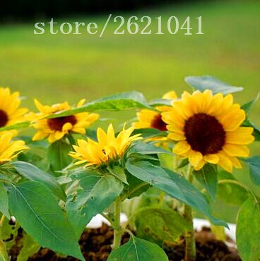 20 pcs/sac de graines de tournesol, graines de tournesol pour la plantation des graines de fleurs bonsaï croissance naturelle pour Plantin jardin à domicile
