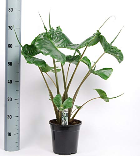 Alocasia Stingray | Alocasia punta de flecha | Planta de interior | Altura 55cm aprox. | Maceta 17cm | GASTOS DE ENVÍOS GRATIS (Envíos a Península)
