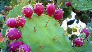 2+ LBs FRESH Tortoise Turtle Iguana Reptile SUPER FOOD Spineless Opuntia Prickly Pear Cactus
