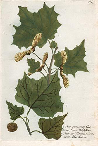 a. Acer montanum candidum. Mascholder....