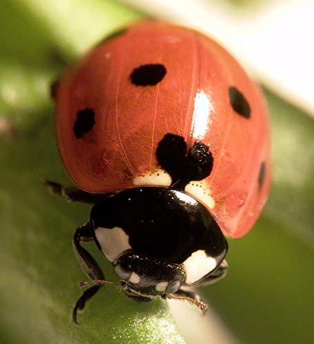 Marienkäfer gegen Blattläuse - 150 Eier / Larven - Biologische Schädlingsbekämpfung mit heimischen Nützlingen