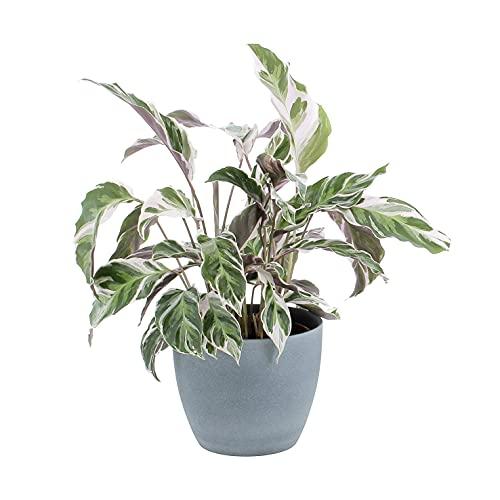 KENTIS - Calathea Fusion White - Piante Vere da Interni Purifica Aria - H 30-40 cm Vaso Ø 14 cm