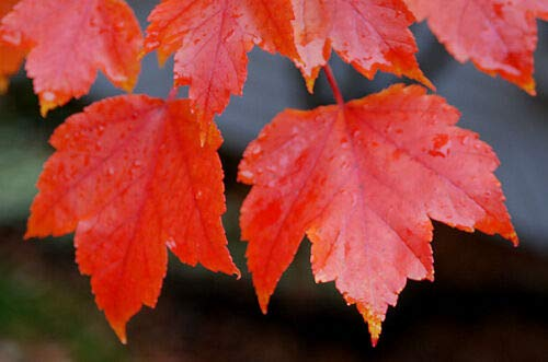 Albero di Acero Rosso'Acer Rubrum October Glory' Acero Scarlatto h.80/100 cm