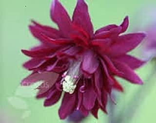 Best aquilegia vulgaris plena ruby port Reviews