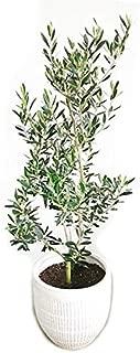 オリーブの木 ホワイトテラコッタ鉢植え 観葉植物 本物 庭木 鉢植え ガーデニング インテリア 大型 オリーブ