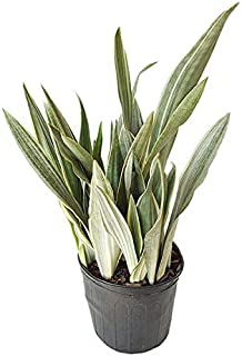 PlantVine Sansevieria Sayuri, Snake Plant, Mother in law's Tongue, Bowstring Hemp - Large - 8-10 Inch Pot (3 Gallon), Live Indoor Plant