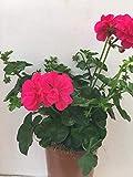 Geranio Gitanilla (Pelargonium) Pack 6 plantas 14 cm ø - Vipar Garden 10