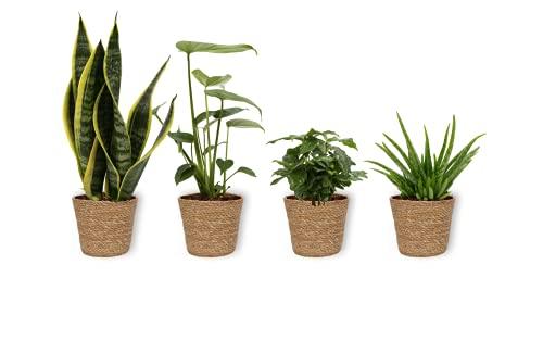 4er Set Zimmerpflanzen - Aloe Vera Clumb & Coffea Arabica & Monstera & Sansevieria - Zimmerpflanze in braunem Korb - Höhe +/- 25cm inklusive Topf - 12cm Durchmesser (Topf) - Luftreinigend - 4 Stück