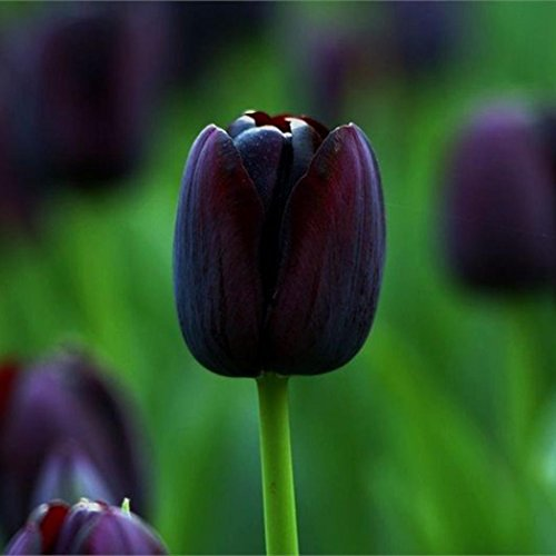 Tulpe Samen, SummerRio Blumensamen Blumen Saatgut Seeds Pflanze Garten Rarität Frisch Neuheit 20/50/100 Stücke