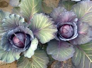 100pcs Wholesale 100% authentisch Rotkohl Samen Gemüsesamen Seltene Pflanzen, Bio-Saatgut