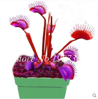 Shopmeeko Graines: Bonsai 100 Pcs/Sac Moucherolle Rare Rillettes Mixte insectivores Bonsai Plante Dionaea géant clip Dionée bateau libre: 16