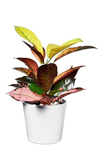 EVRGREEN | Zimmerpflanze Wunderstrauch in Hydrokultur mit weißem Topf als Set | Kroton | Croton variegatum 'Iceton'
