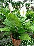 Fash Lady Graines de Spathiphyllum, Balcon en pot, La plantation est simple, taux de bourgeonnement...
