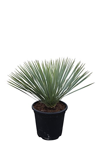 Yucca Rostrata 70cm