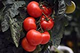 GEOPONICS Tomato'Jupiter' - for culttion under- premium variyfor ever