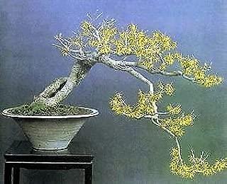 Best witch hazel bonsai Reviews